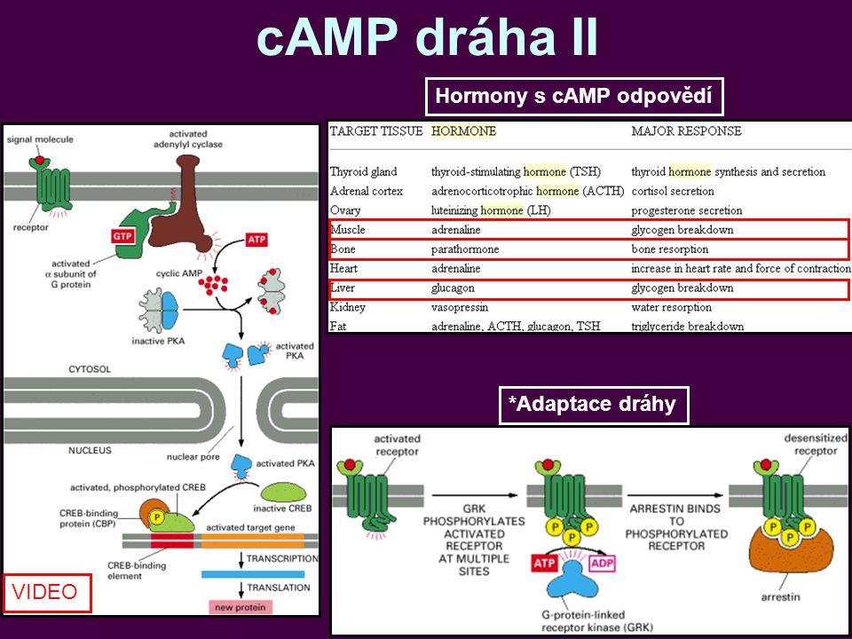 cAMP dráha II *Adaptace dráhy Hormony s cAMP odpovědí VIDEO