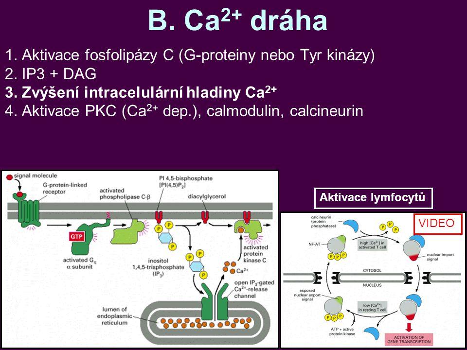 B. Ca 2+ dráha 1. Aktivace fosfolipázy C (G-proteiny nebo Tyr kinázy) 2. IP3 + DAG 3. Zvýšení intracelulární hladiny Ca 2+ 4. Aktivace PKC (Ca 2+ dep.