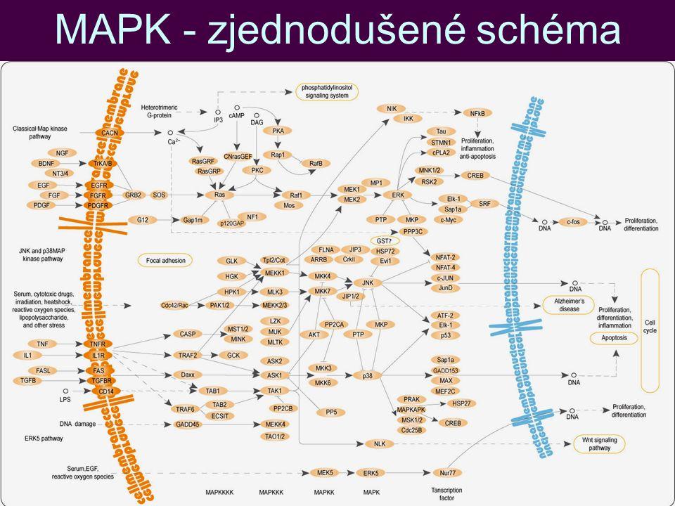 MAPK - zjednodušené schéma