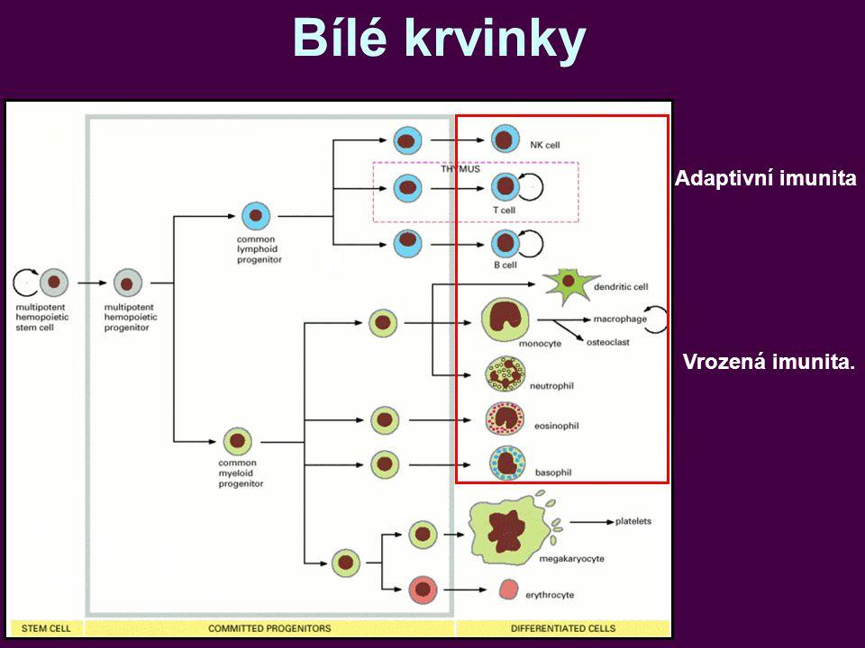 Bílé krvinky Adaptivní imunita Vrozená imunita.