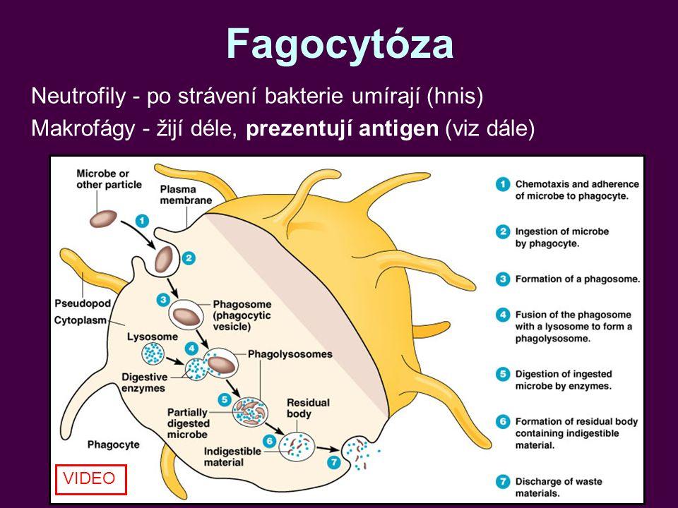 Fagocytóza Neutrofily - po strávení bakterie umírají (hnis) Makrofágy - žijí déle, prezentují antigen (viz dále) VIDEO
