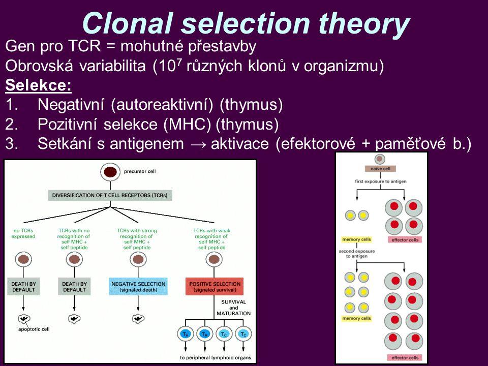 Clonal selection theory Gen pro TCR = mohutné přestavby Obrovská variabilita (10 7 různých klonů v organizmu) Selekce: 1.Negativní (autoreaktivní) (th