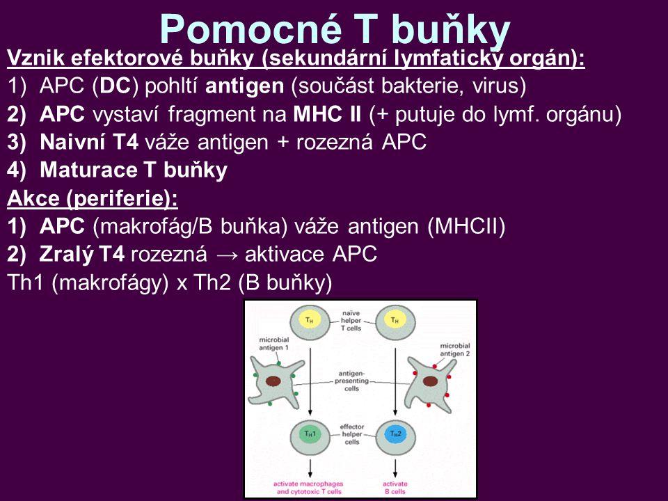 Pomocné T buňky Vznik efektorové buňky (sekundární lymfatický orgán): 1)APC (DC) pohltí antigen (součást bakterie, virus) 2)APC vystaví fragment na MHC II (+ putuje do lymf.