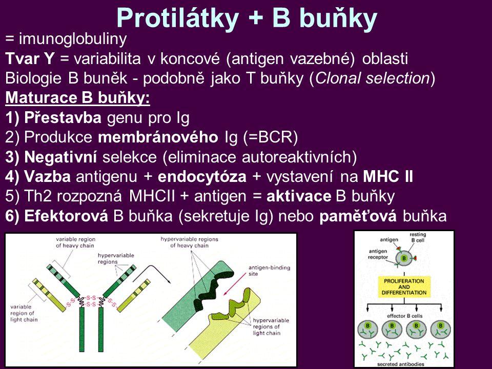 Protilátky + B buňky = imunoglobuliny Tvar Y = variabilita v koncové (antigen vazebné) oblasti Biologie B buněk - podobně jako T buňky (Clonal selection) Maturace B buňky: 1)Přestavba genu pro Ig 2)Produkce membránového Ig (=BCR) 3)Negativní selekce (eliminace autoreaktivních) 4)Vazba antigenu + endocytóza + vystavení na MHC II 5)Th2 rozpozná MHCII + antigen = aktivace B buňky 6)Efektorová B buňka (sekretuje Ig) nebo paměťová buňka