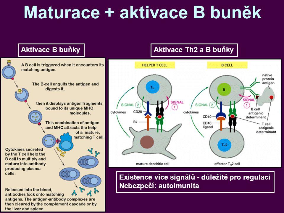 Maturace + aktivace B buněk Aktivace B buňkyAktivace Th2 a B buňky Existence více signálů - důležité pro regulaci Nebezpečí: autoimunita