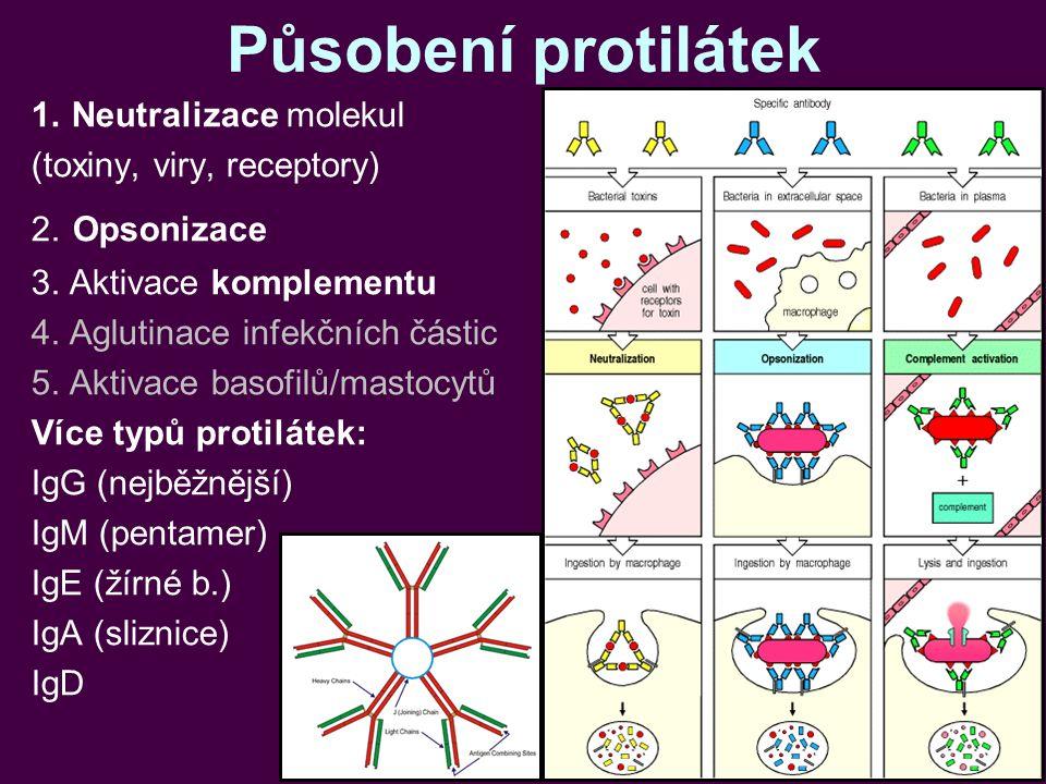 Působení protilátek 1.Neutralizace molekul (toxiny, viry, receptory) 2. Opsonizace 3. Aktivace komplementu 4. Aglutinace infekčních částic 5. Aktivace