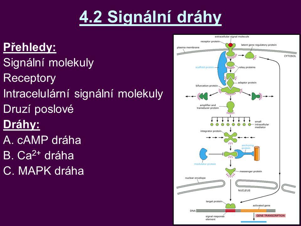 4.2 Signální dráhy Přehledy: Signální molekuly Receptory Intracelulární signální molekuly Druzí poslové Dráhy: A. cAMP dráha B. Ca 2+ dráha C. MAPK dr