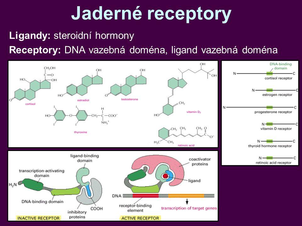 Jaderné receptory Ligandy: steroidní hormony Receptory: DNA vazebná doména, ligand vazebná doména