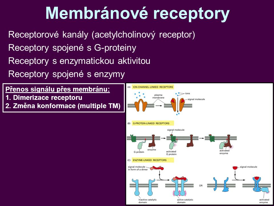 Membránové receptory Receptorové kanály (acetylcholinový receptor) Receptory spojené s G-proteiny Receptory s enzymatickou aktivitou Receptory spojené