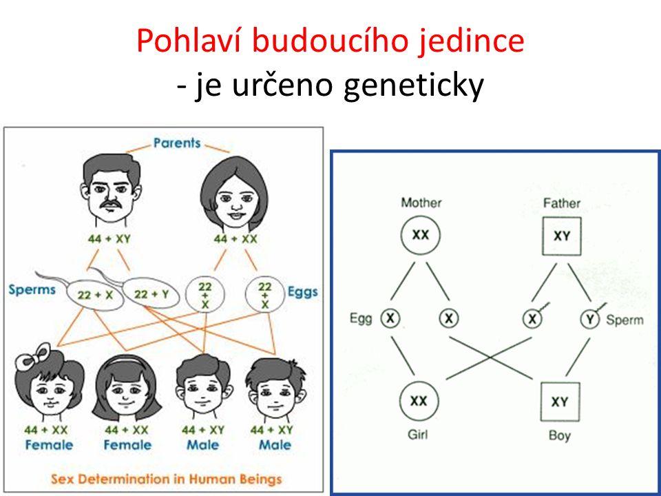 Pohlaví budoucího jedince - je určeno geneticky