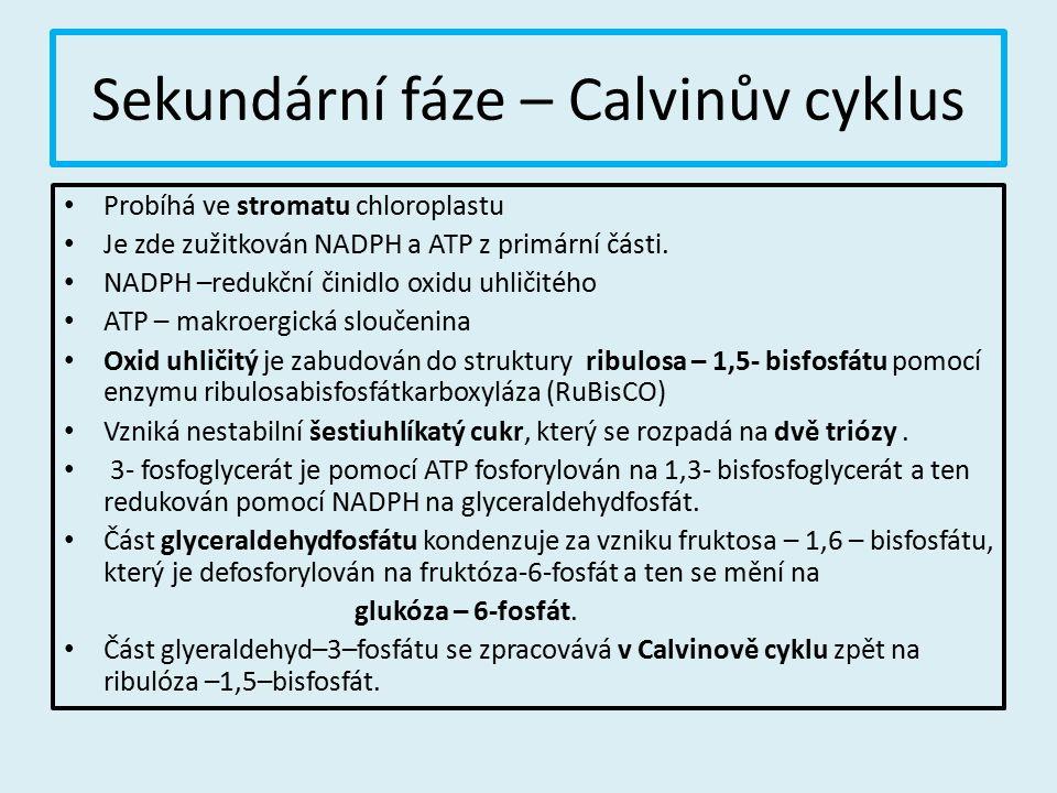 Sekundární fáze – Calvinův cyklus Probíhá ve stromatu chloroplastu Je zde zužitkován NADPH a ATP z primární části. NADPH –redukční činidlo oxidu uhlič