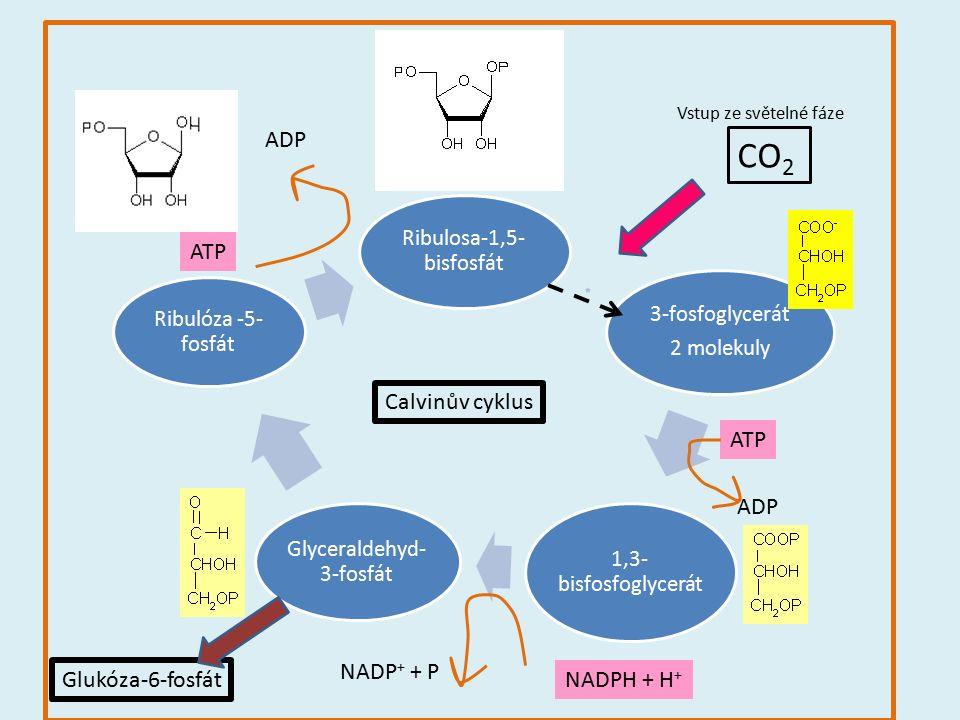 Ribulosa-1,5- bisfosfát 3-fosfoglycerát 2 molekuly 1,3- bisfosfoglycerát Glyceraldehyd- 3-fosfát Ribulóza -5- fosfát CO 2 ATP ADP NADPH + H + NADP + +