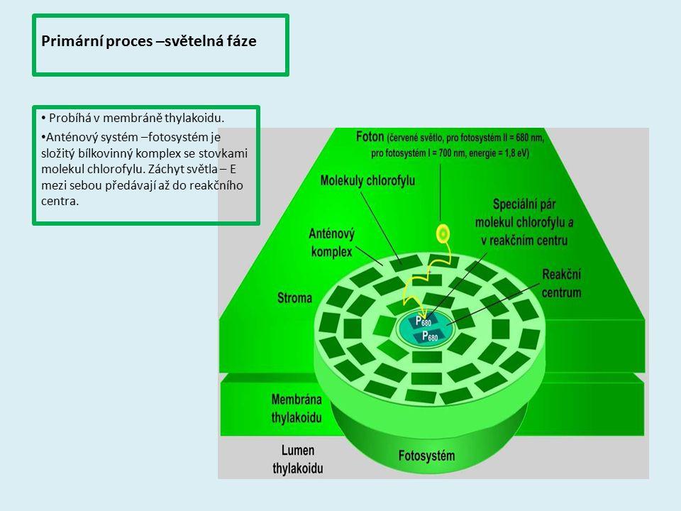 Primární proces –světelná fáze Probíhá v membráně thylakoidu. Anténový systém –fotosystém je složitý bílkovinný komplex se stovkami molekul chlorofylu