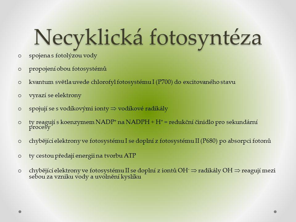 Necyklická fotosyntéza o spojena s fotolýzou vody o propojení obou fotosystémů o kvantum světla uvede chlorofyl fotosystému I (P700) do excitovaného stavu o vyrazí se elektrony o spojují se s vodíkovými ionty  vodíkové radikály o ty reagují s koenzymem NADP + na NADPH + H + = redukční činidlo pro sekundární procesy o chybějící elektrony ve fotosystému I se doplní z fotosystému II (P680) po absorpci fotonů o ty cestou předají energii na tvorbu ATP o chybějící elektrony ve fotosystému II se doplní z iontů OH -  radikály OH  reagují mezi sebou za vzniku vody a uvolnění kyslíku