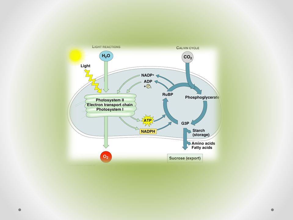 Fotolýza vody o Doplňuje elektrony do molekuly P 680 v PII o Protony H+ jsou použity na redukci NADP + v PI o Ne zcela objasněná o Rozklad vody pomocí enzymů a světla na vodíkové kationty, kyslík a elektrony o Rovnice: H 2 O 2H+ + 2e - + ½ O 2 o Kokův cyklus o Hillova reakce o Enzym: kyslík vyvíjející komplex (OEC, z angl.
