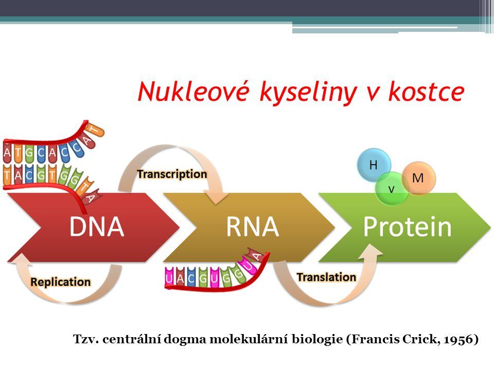 Nukleové kyseliny v kostce Tzv. centrální dogma molekulární biologie (Francis Crick, 1956)