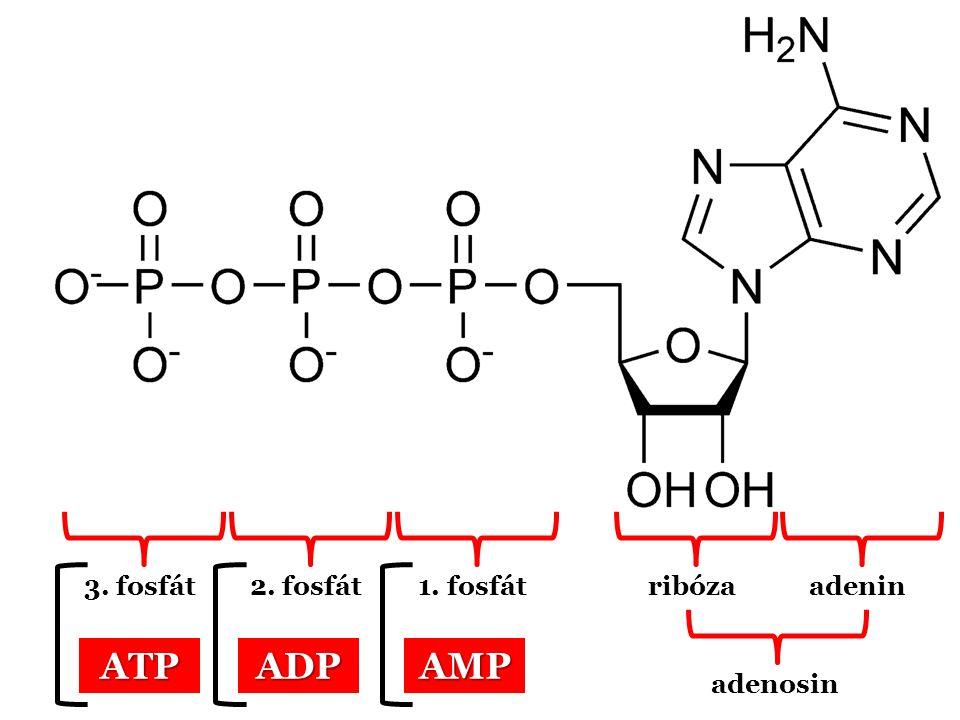 3. fosfát2. fosfát1. fosfátribózaadenin adenosin AMPADPATP