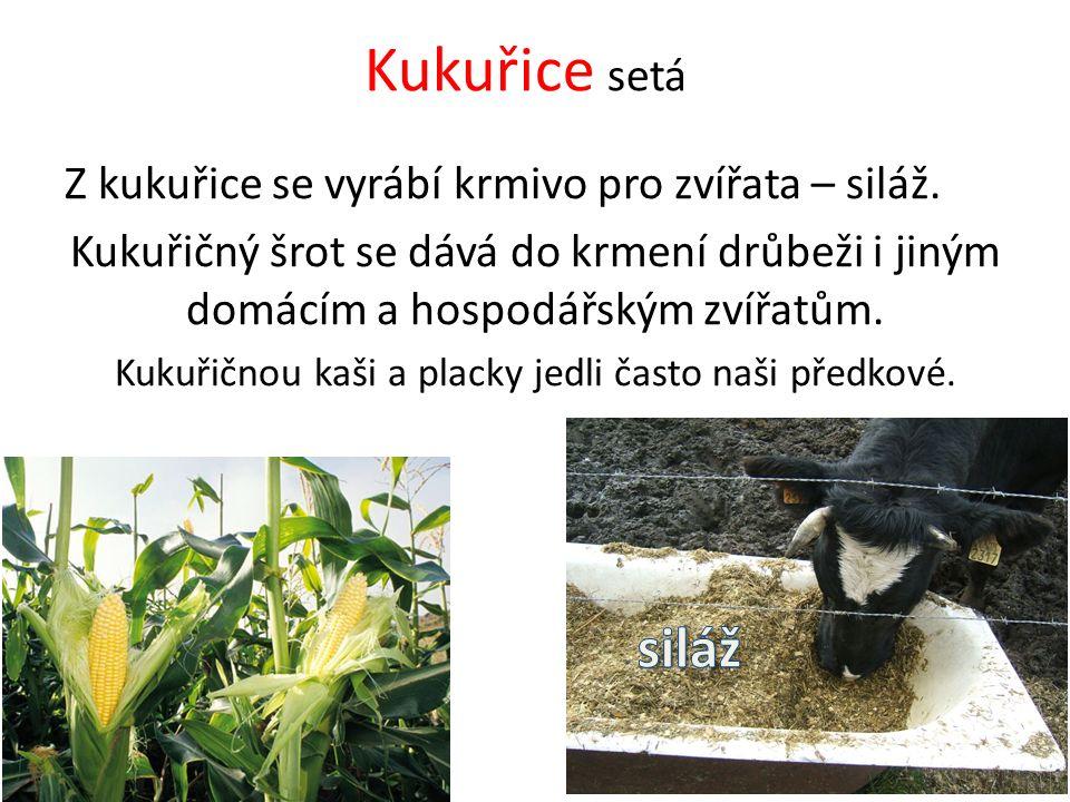 Kukuřice setá Z kukuřice se vyrábí krmivo pro zvířata – siláž. Kukuřičný šrot se dává do krmení drůbeži i jiným domácím a hospodářským zvířatům. Kukuř