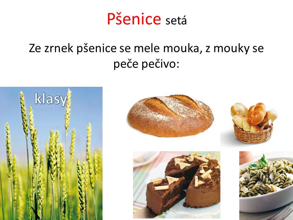 Pšenice setá Ze zrnek pšenice se mele mouka, z mouky se peče pečivo: