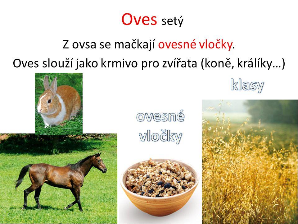 Oves setý Z ovsa se mačkají ovesné vločky. Oves slouží jako krmivo pro zvířata (koně, králíky…)