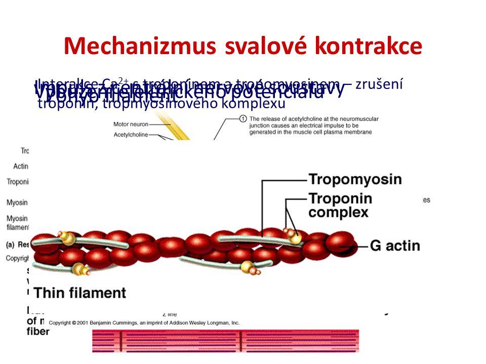 Mechanizmus svalové kontrakce Impuls z centrální nervové soustavy Vybuzení elektrického potenciálu Interakce Ca 2+ s troponinem a tropomyosinem – zruš