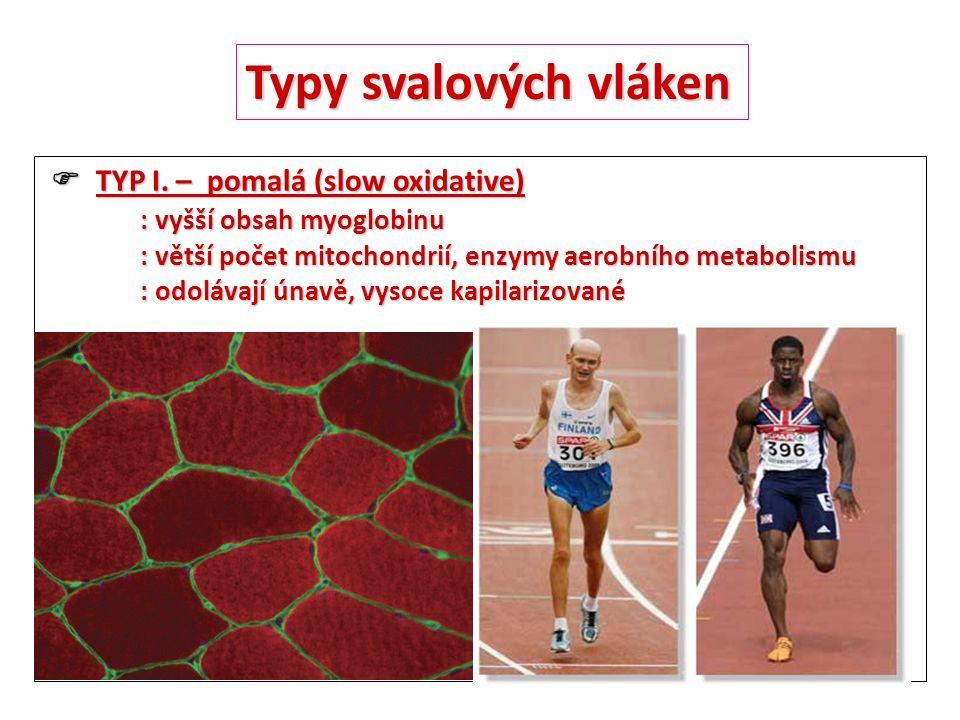 Typy svalových vláken  TYP I. – pomalá (slow oxidative)  TYP I. – pomalá (slow oxidative) : vyšší obsah myoglobinu : větší počet mitochondrií, enzym