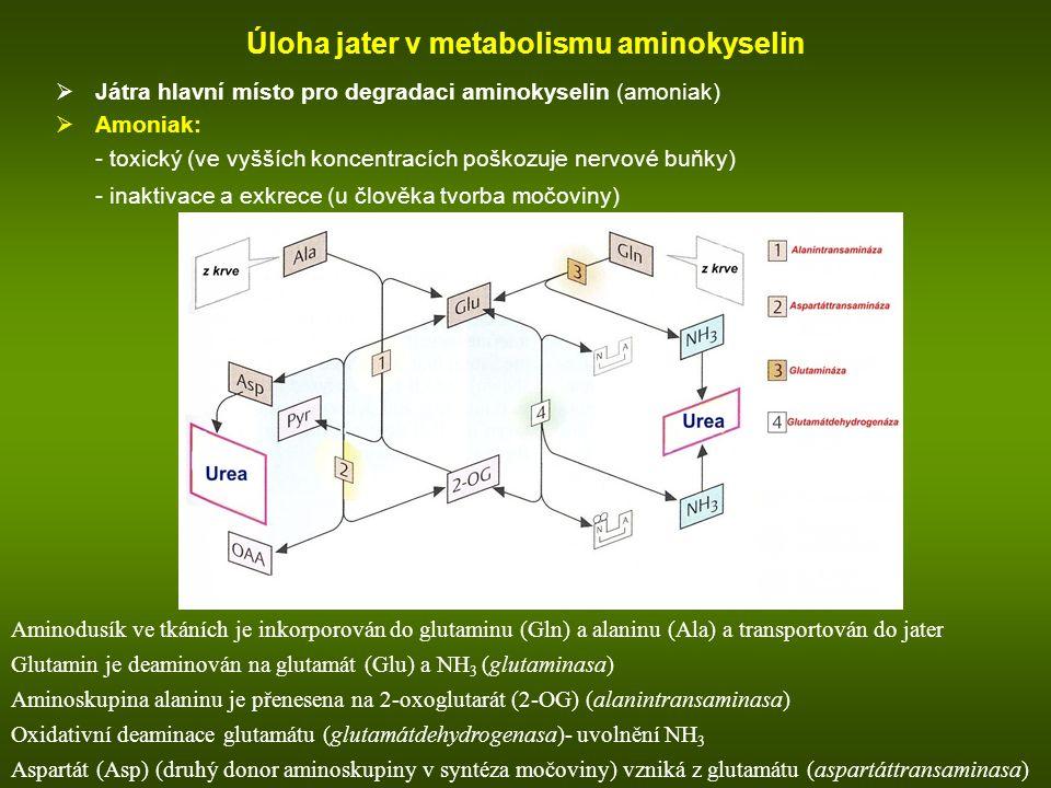 Úloha jater v metabolismu aminokyselin  Játra hlavní místo pro degradaci aminokyselin (amoniak)  Amoniak: - toxický (ve vyšších koncentracích poškozuje nervové buňky) - inaktivace a exkrece (u člověka tvorba močoviny) NH 3 metabolismus v játrech: Aminodusík ve tkáních je inkorporován do glutaminu (Gln) a alaninu (Ala) a transportován do jater Glutamin je deaminován na glutamát (Glu) a NH 3 (glutaminasa) Aminoskupina alaninu je přenesena na 2-oxoglutarát (2-OG) (alanintransaminasa) Oxidativní deaminace glutamátu (glutamátdehydrogenasa)- uvolnění NH 3 Aspartát (Asp) (druhý donor aminoskupiny v syntéza močoviny) vzniká z glutamátu (aspartáttransaminasa)