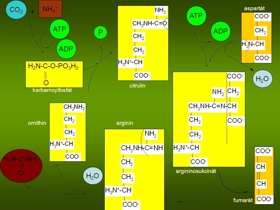 CO 2 NH 4 + H 2 N-C-O-PO 3 H 2 O ATP ADP H 2 N-C-NH 2 O ATP ADP + H2OH2O P H2OH2O karbamoylfosfát citrulin aspartát argininosukcinát fumarát argininornithin