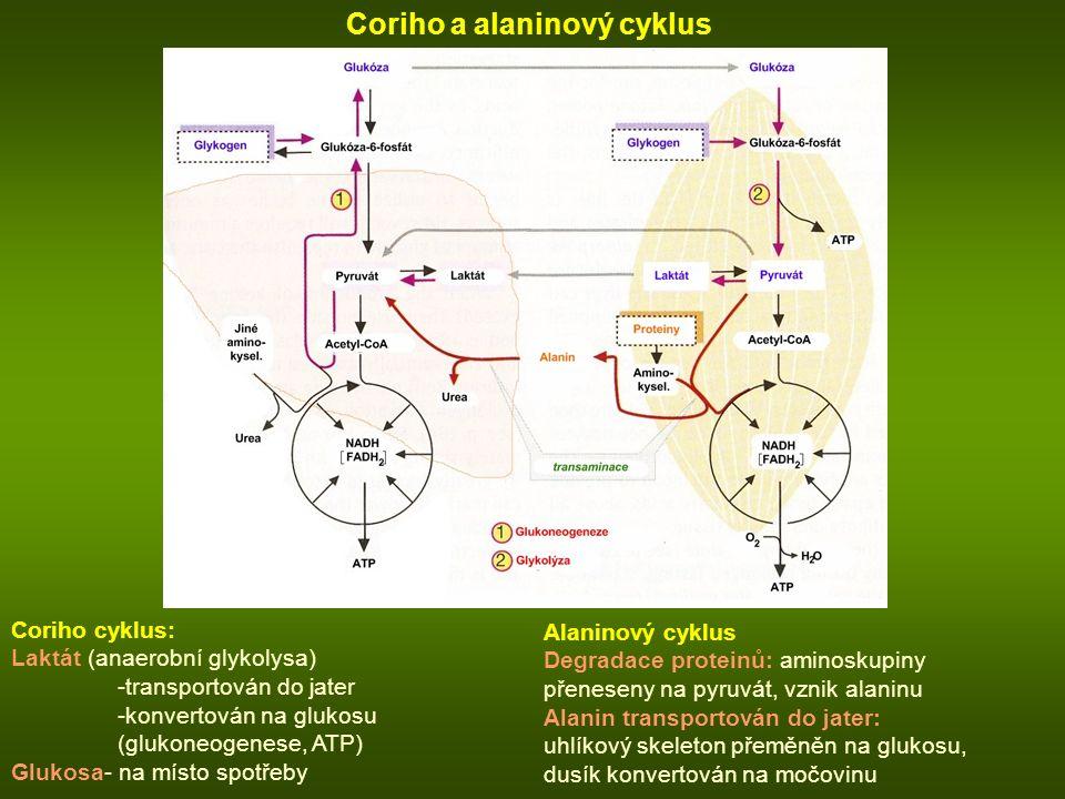 Coriho a alaninový cyklus Coriho cyklus: Laktát (anaerobní glykolysa) -transportován do jater -konvertován na glukosu (glukoneogenese, ATP) Glukosa- na místo spotřeby Alaninový cyklus Degradace proteinů: aminoskupiny přeneseny na pyruvát, vznik alaninu Alanin transportován do jater: uhlíkový skeleton přeměněn na glukosu, dusík konvertován na močovinu