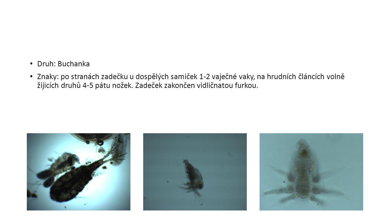 Druh: Buchanka Znaky: po stranách zadečku u dospělých samiček 1-2 vaječné vaky, na hrudních článcích volně žijicích druhů 4-5 pátu nožek.