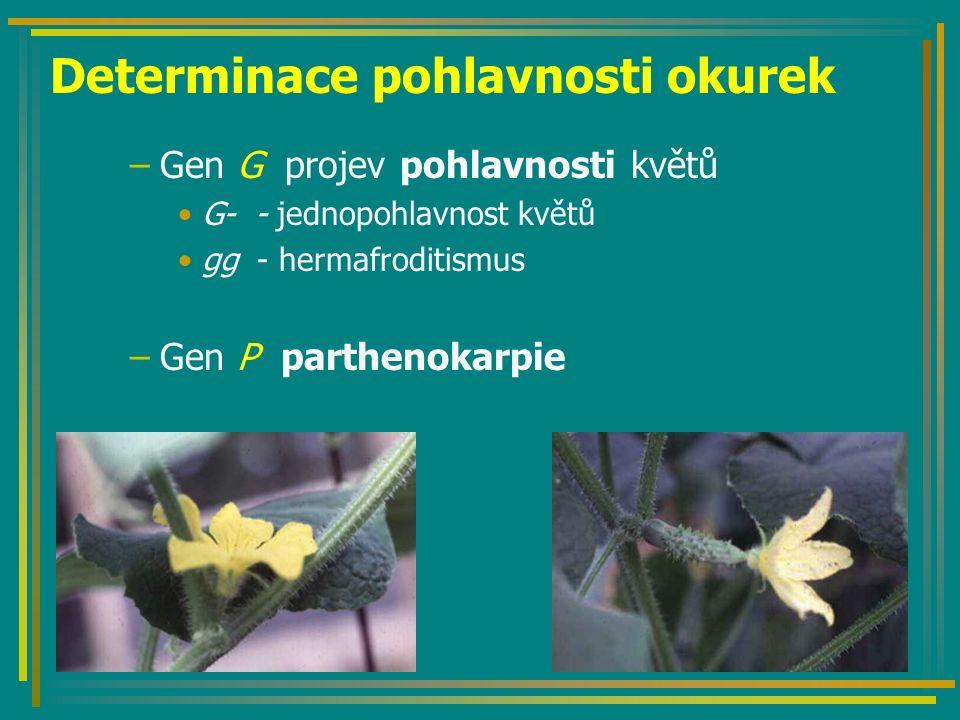 Determinace pohlavnosti okurek –Gen G projev pohlavnosti květů G- - jednopohlavnost květů gg - hermafroditismus –Gen P parthenokarpie