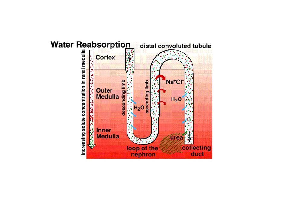Proteinurie více než 0,2g bílkovin/ 24 hod v moči funkční (fyzická námaha, horečka, chlad, záchvaty) ortostatická preglomerulární – bílkoviny s velmi nízkou molekulovou hmotností (plazmocytom, amyloid, poškození svalstva) glomerulární – porucha glomerulárního filtru → selektivní, neselektivní proteinurie tubulární – porucha resorbce bílkovin v tubulech postrenální – bílkovina pochází z ledvinného intersticia