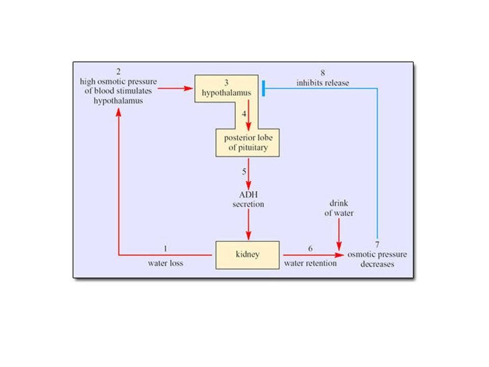 Nefrotický syndrom - otoky Ale: většina pacientů s NS má ↑ plazmatický volum a ↑ krevní tlak plazmatická reninová aktivita a aldosteron kolísají v širokém rozmezí bez korelace s plazmatickým volumem je ↑ plazmatická koncentrace atriálního natriuretického faktoru → hypoproteinémie pravděpodobně nemůže být primární příčinou otoků Patogeneze otoků: primární je renální příčina retence sodíku a vody způsobená glomerulonefritidou.