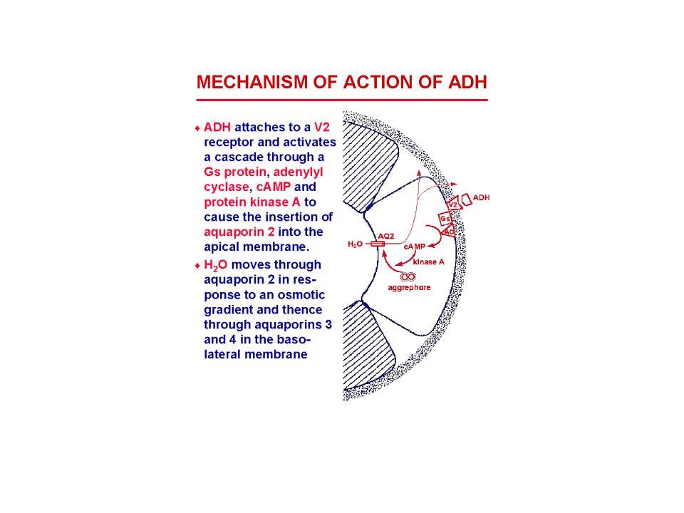 Kreatinin a močovina v plazmě 1.Clearance kreatininu (výpočet vychází z koncentrace v séru a v moči) při normální koncentraci kreatininu v plazmě (norma 35 - 115 µmol/l) 2.Kreatinin v plazmě ovlivňuje velikost svalové hmoty a svalový metabolismus (geriatričtí pacienti s atrofovaným svalstvem) 3.Kreatinin a močovina v plazmě stoupají při poklesu funkce ledvin o více než 50% 4.Zahájení dialyzační terapie při hodnotách kreatininu 500 - 600 µmol/l 5.Močovina v plazmě (norma 2,5 – 8,3 mmol/l) → katabolické a anabolické pochody, přívod bílkovin, rychlost průtoku moči tubuly, mimoledvinové ztráty močoviny (průjem, zvracení)