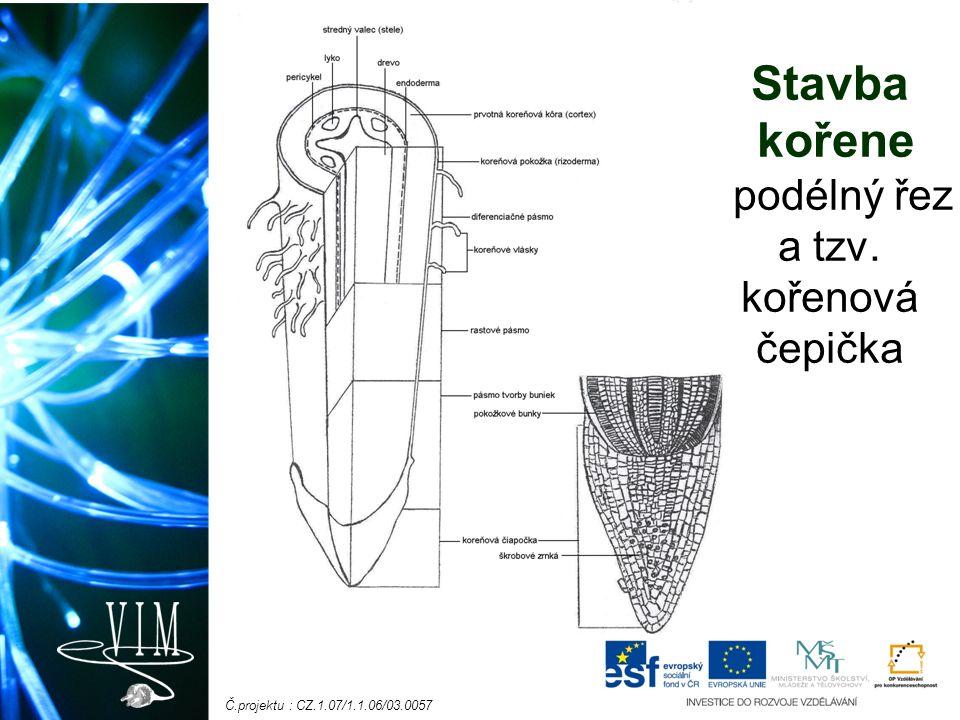 Č.projektu : CZ.1.07/1.1.06/03.0057 Stavba kořene - podélný řez a tzv. kořenová čepička