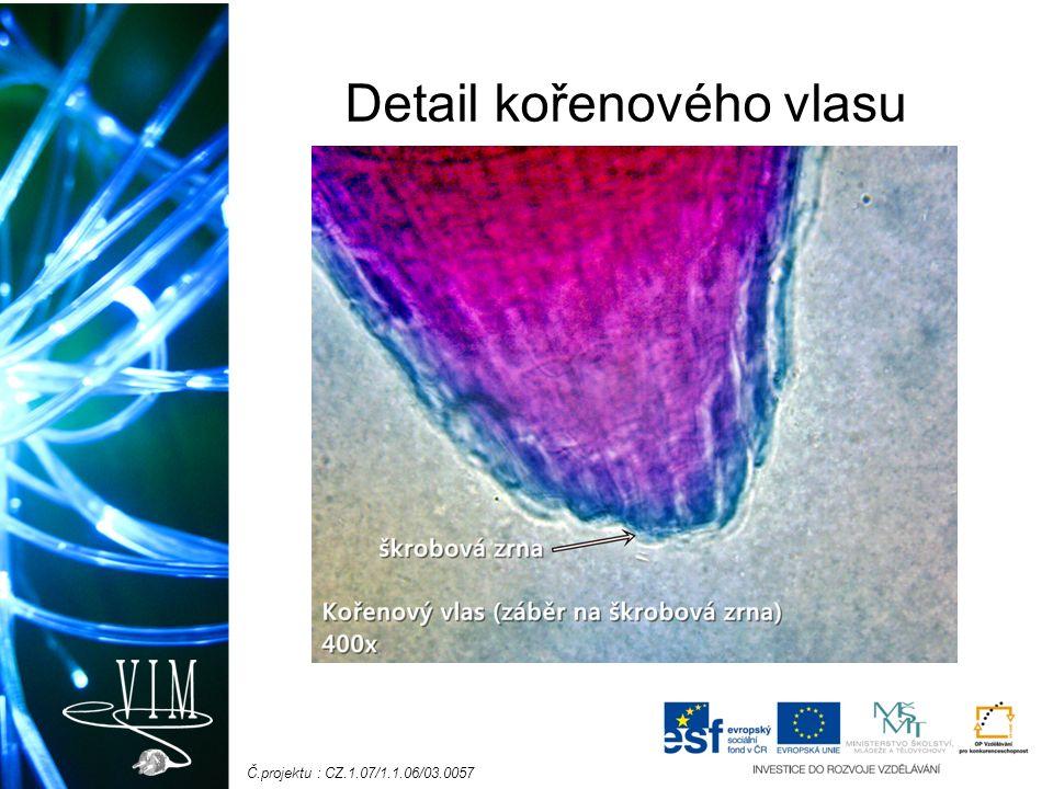 Č.projektu : CZ.1.07/1.1.06/03.0057 Metamorfózy = přeměny kořene kořenové hlízy (např.