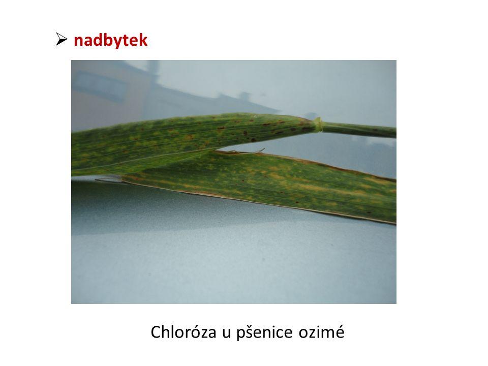  nadbytek Chloróza u pšenice ozimé