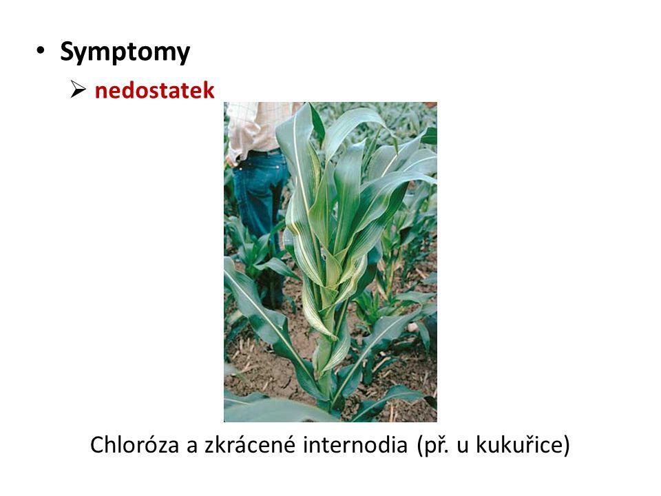 Symptomy  nedostatek Chloróza a zkrácené internodia (př. u kukuřice)