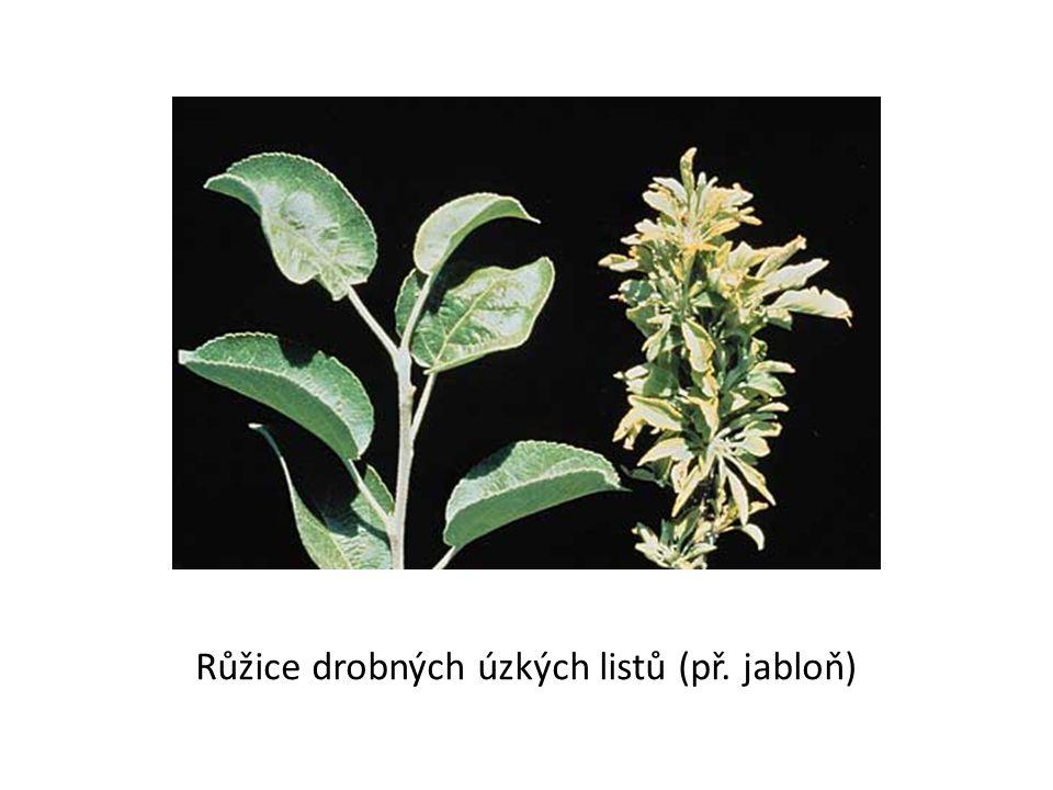 Růžice drobných úzkých listů (př. jabloň)