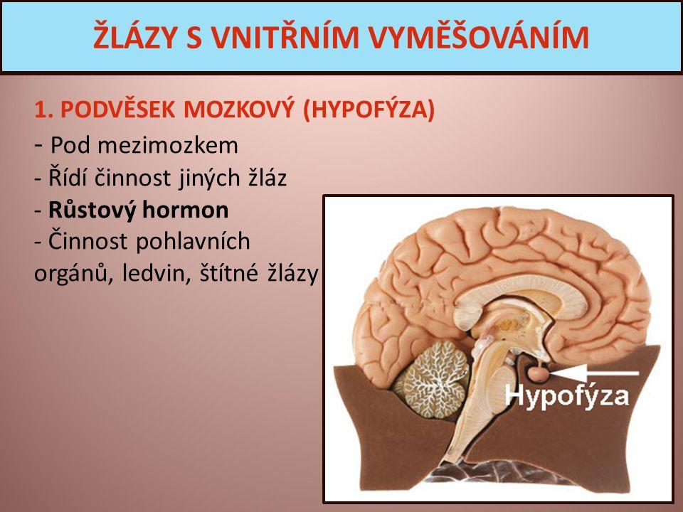 1. PODVĚSEK MOZKOVÝ (HYPOFÝZA) - Pod mezimozkem - Řídí činnost jiných žláz - Růstový hormon - Činnost pohlavních orgánů, ledvin, štítné žlázy ŽLÁZY S
