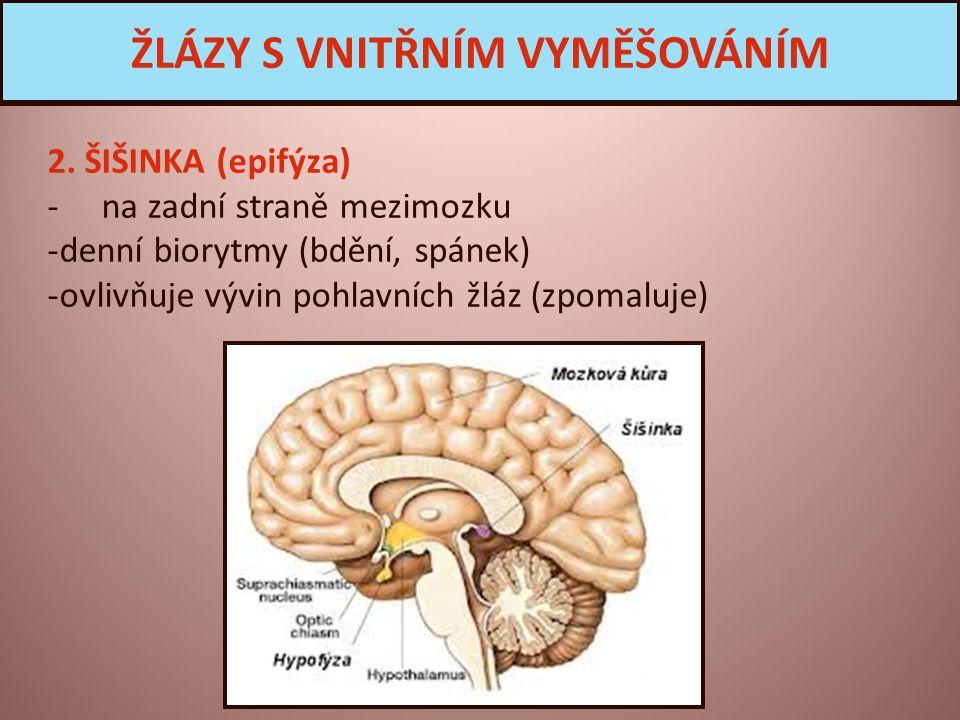 2. ŠIŠINKA (epifýza) - na zadní straně mezimozku -denní biorytmy (bdění, spánek) -ovlivňuje vývin pohlavních žláz (zpomaluje) ŽLÁZY S VNITŘNÍM VYMĚŠOV