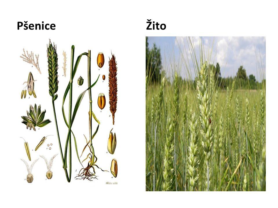 PšeniceŽito