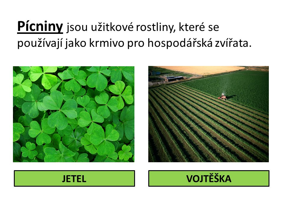 Pícniny jsou užitkové rostliny, které se používají jako krmivo pro hospodářská zvířata.