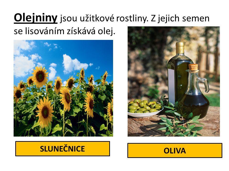 Olejniny jsou užitkové rostliny. Z jejich semen se lisováním získává olej. SLUNEČNICE OLIVA