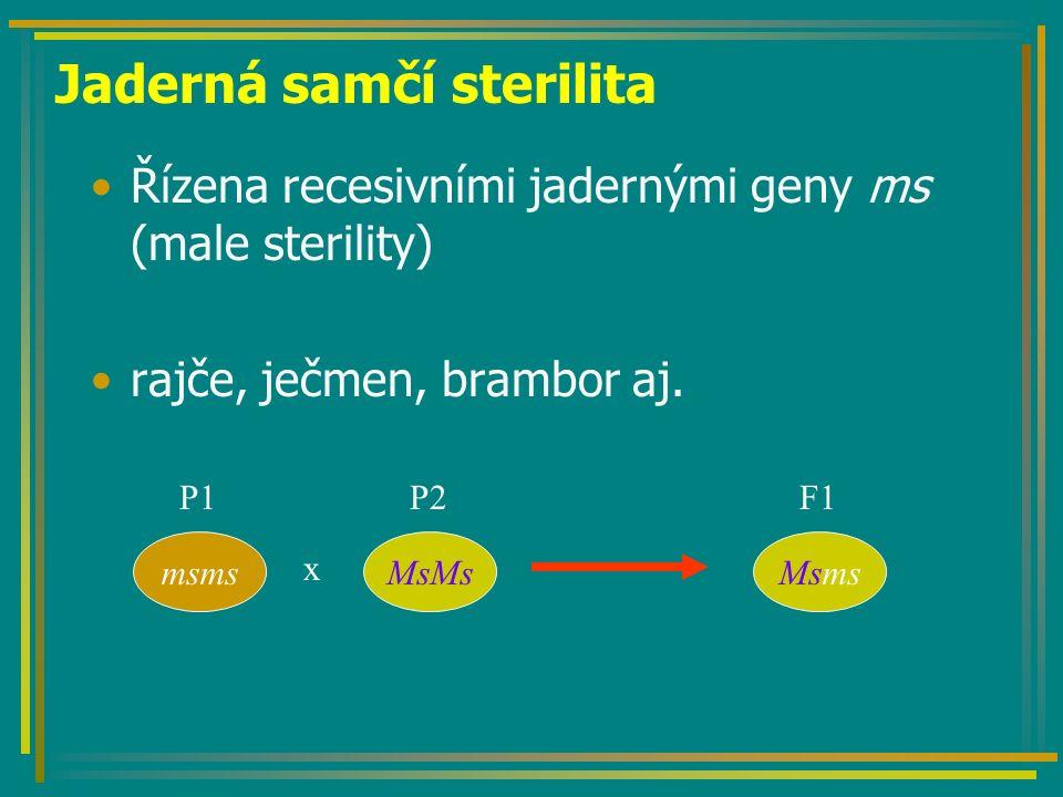 Jaderná samčí sterilita Řízena recesivními jadernými geny ms (male sterility) rajče, ječmen, brambor aj. MsMsmsms x Msms P1 P2 F1