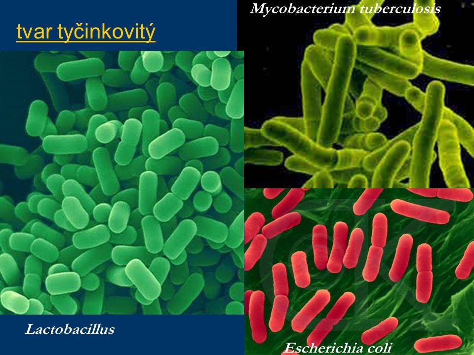 tvar tyčinkovitý Lactobacillus Mycobacterium tuberculosis Escherichia coli
