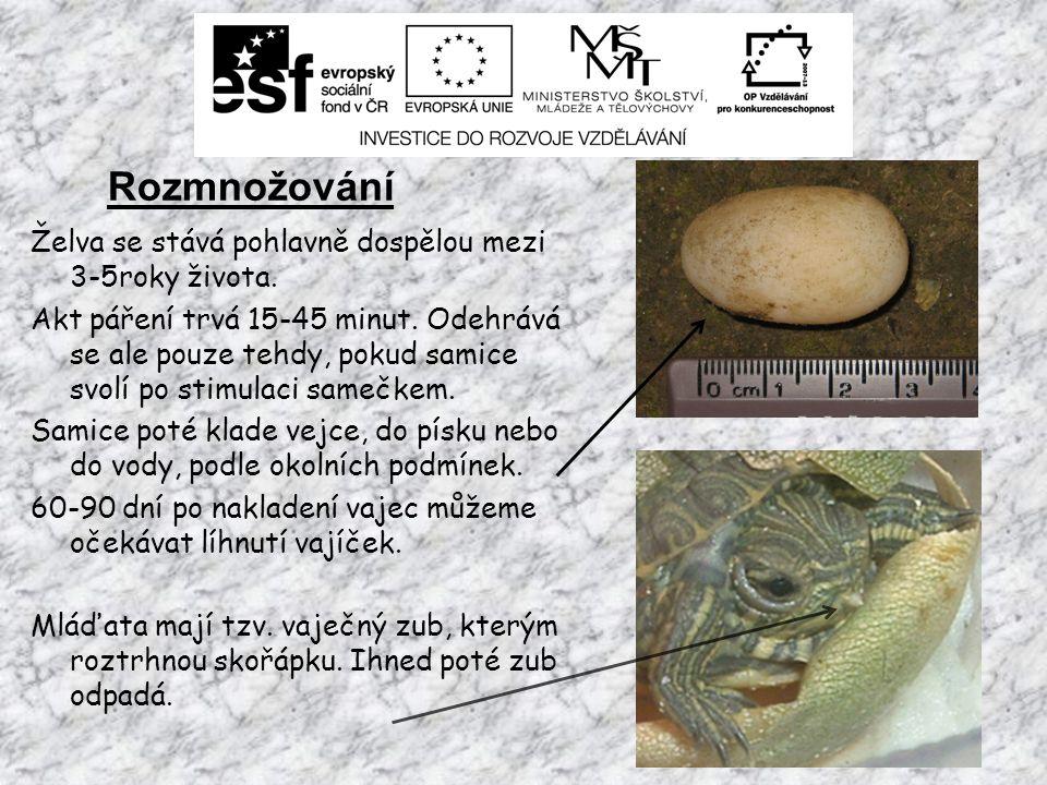 Nemoci želv nádherných Želvu nádhernou může postihnout celá řada nemocí a zdravotních komplikací.