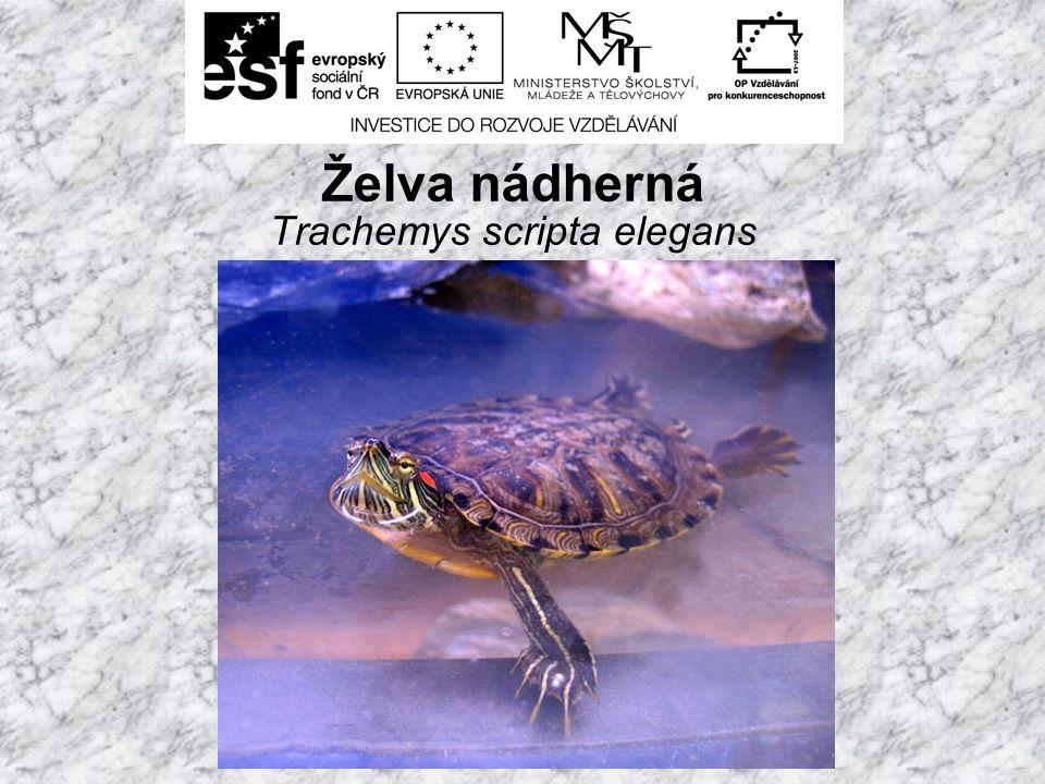 Želva nádherná Trachemys scripta elegans