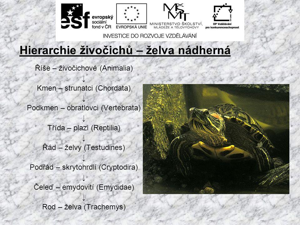 Hierarchie živočichů – želva nádherná Říše – živočichové (Animalia) ↓ Kmen – strunatci (Chordata) ↓ Podkmen – obratlovci (Vertebrata) ↓ Třída – plazi (Reptilia) ↓ Řád – želvy (Testudines) ↓ Podřád – skrytohrdlí (Cryptodira) ↓ Čeleď – emydovití (Emydidae) ↓ Rod – želva (Trachemys)