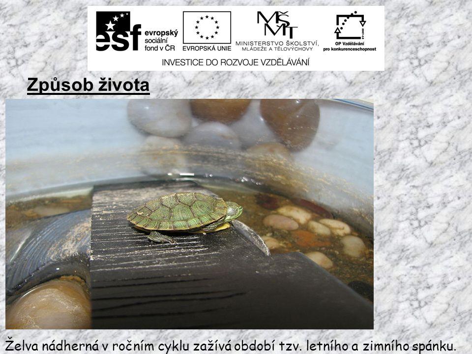 Způsob života Letní spánek = AESTIVACE Dostavuje se případě potřeby, želva svou strnulostí v takovém případě přečkává nepříznivé období (sucho, nedostatek vody).